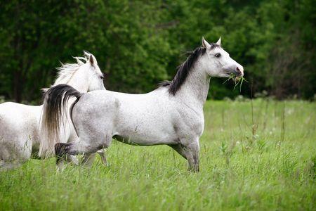 dapple grey: arab horses