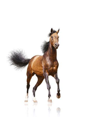chestnut male: bay stallion isolated on white