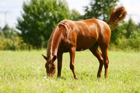 colt: young arab colt grazing  Stock Photo