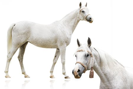 isolation white: arab horse head and full body isolated Stock Photo