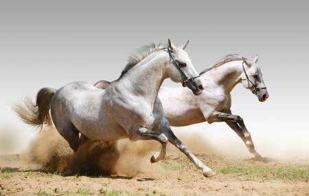 two stallions in dust Stock Photo - 6055336