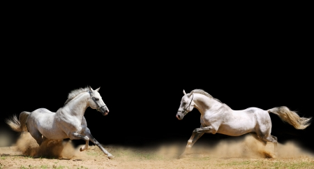 grey horses: two stallions