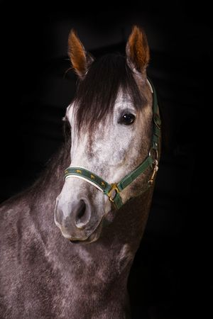 arab stallion studio shot photo