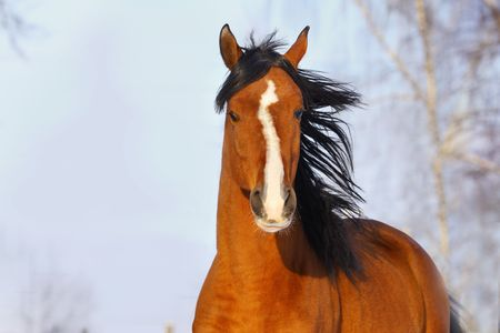 bay arab horse in winter photo