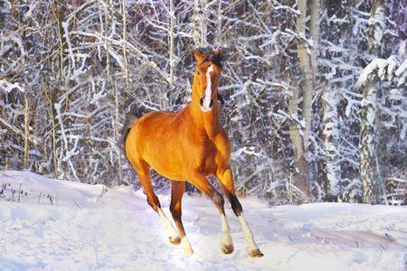 arab horse in winter photo