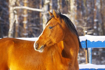 bay arab horse in winter photo