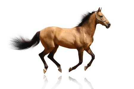 trotting: bay stallion isolated on white