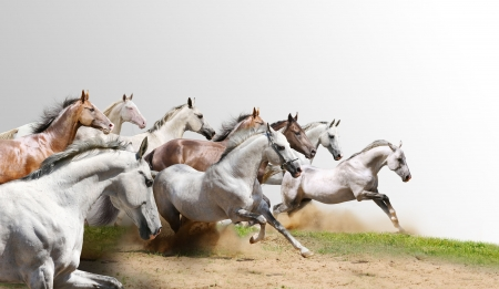 grey horses: herd isolated on white
