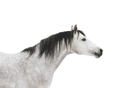 dapple grey: grey horse isolated