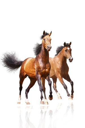 chestnut male: two horses on white Stock Photo