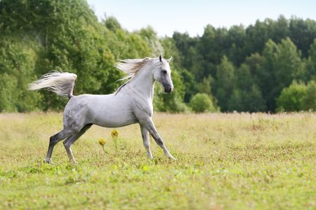 beautiful arab stallion photo