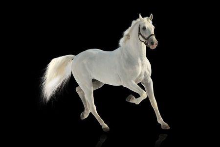 horse jumping: white stallion over black Stock Photo