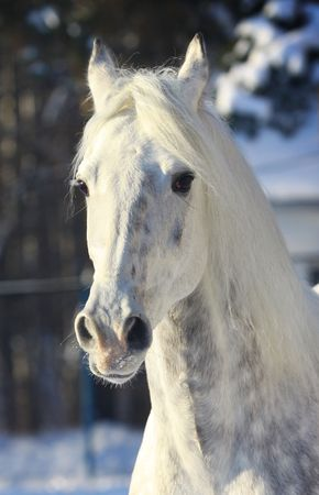 stallion in winter photo