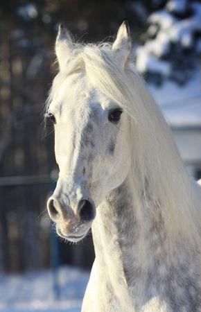 dappled: stallion in winter Stock Photo