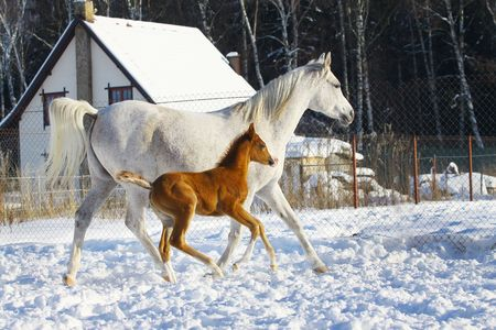 mare: arabian mare and foal in winter