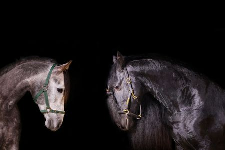frisian and arab stallions indoors photo