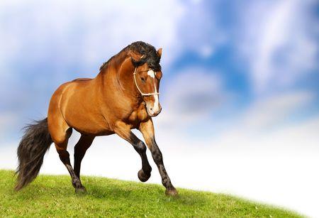 beautiful stallion galloping photo
