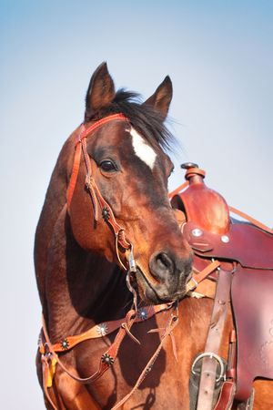 horse in western equipment photo