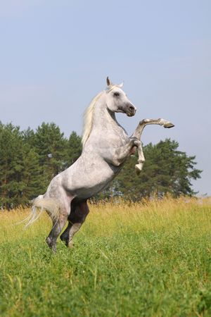 white horse rearing photo