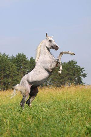 stallion: white horse rearing Stock Photo