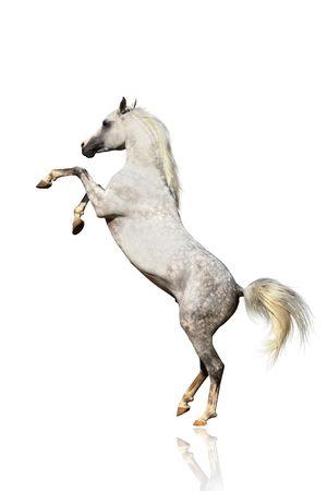 springpaard: Arabische paard geïsoleerd Stockfoto