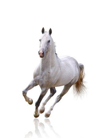 cavallo che salta: cavallo bianco su bianco isolato