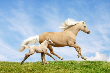 galloping: welsh pony mare and foal in field Stock Photo