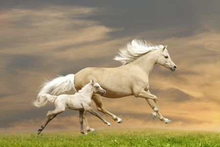 halter: ponies in sunset