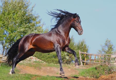 running andalusian horse photo