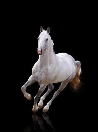the runs: white stallion runs Stock Photo