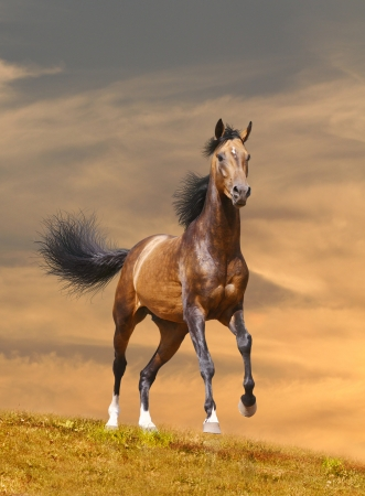 chestnut male: horse runs in sunset Stock Photo