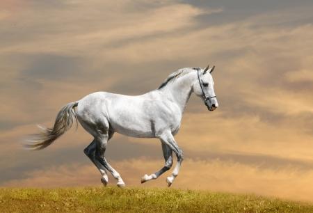 white horse running Stock Photo - 8522894