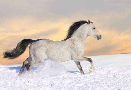 beast ranch: grey arab Stock Photo