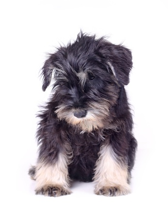schnauzer puppy photo