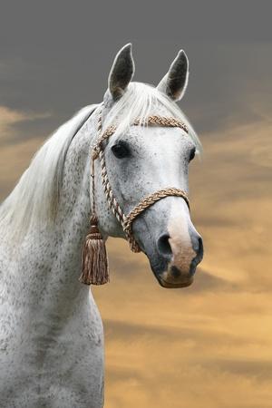 chevaux noir: cheval arabe Banque d'images
