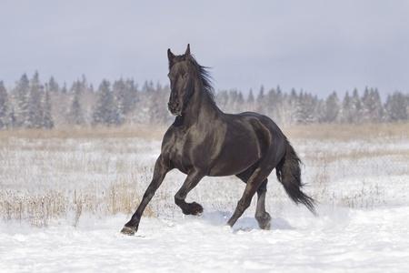 жеребец: черный конь Фото со стока