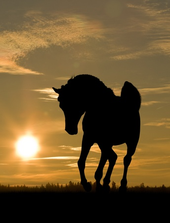 horse silhouette: arab horse in sunset