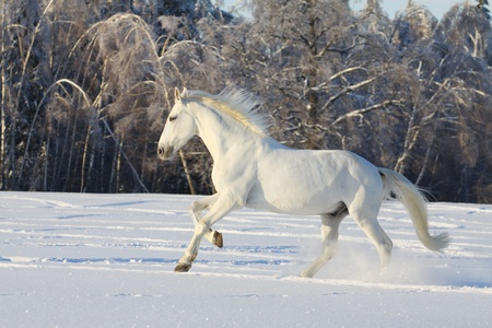 white horse in snow photo