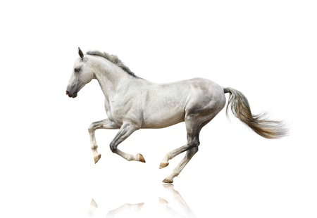springpaard: white horse geïsoleerd Stockfoto