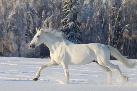 white horse Stock Photo - 8770709