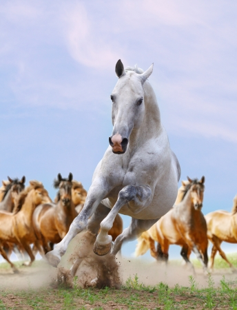 galloping: white horse and herd