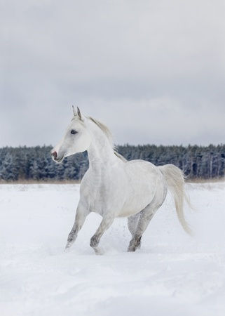 arab horse in winter photo