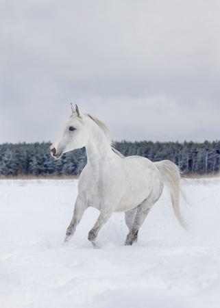 arab horse in winter Stock Photo - 8770711