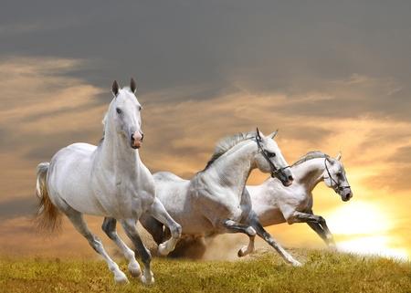 horses in sunset photo