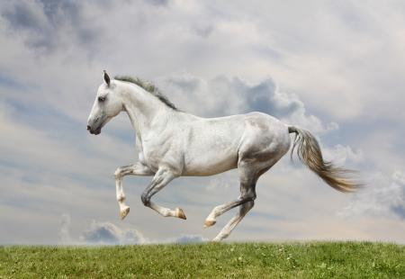white stallion Stock Photo