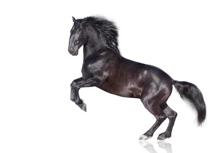 rearing: black stallion isolated on white