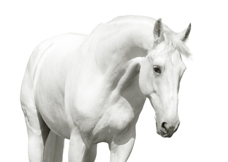 stable: white horse high key