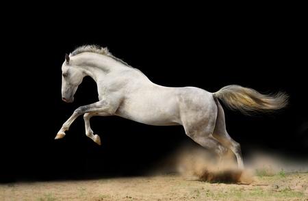 silver-white stallion jumps in dust