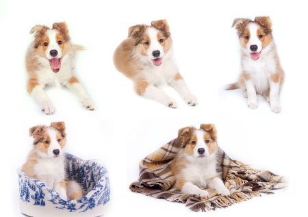miniature collie: border coliie pupies isolated