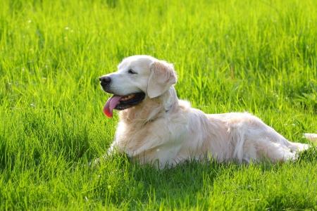 golden retriever in grass photo